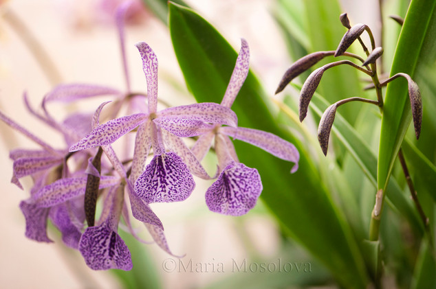 Spotted Flowers and Buds  of Brassocattleya Orchid Maikai Louise