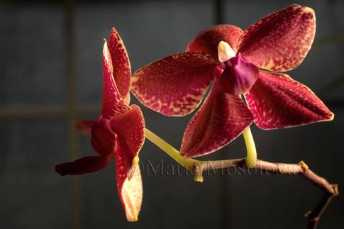 Phalaenopsis Hattie Mattie