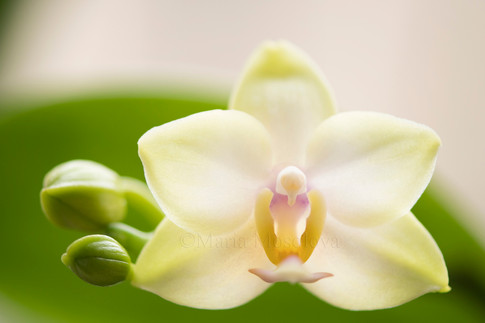 Phalaenopsis Memoria Laelia