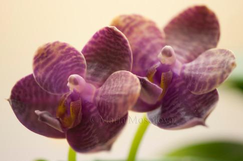 Phalaenopsis Black Sentra 'Chin Yo'