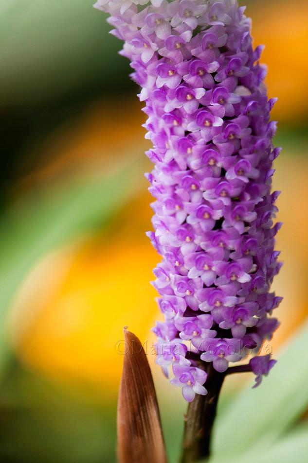 Arpophyllum spicatum Orchid