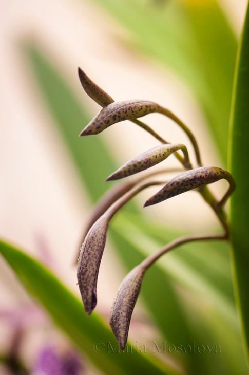 Buds of Brassocattleya Orchid Maikai Louise