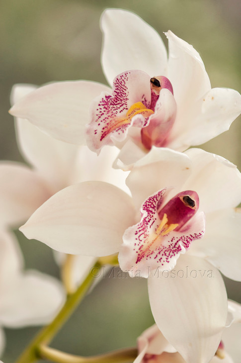 Delicate Cymbidium Orchid Flowers