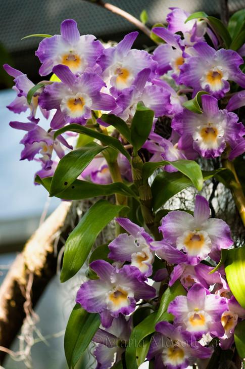 Dendrobium Kumiko Angel 'Peace'