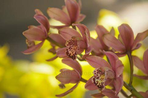 Pink Cymbidium Orchid in Bloom