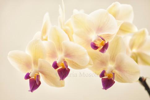 Phalaenopsis Fangmei Sweet