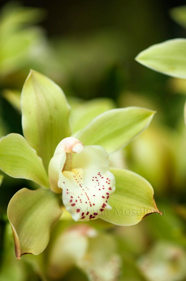 A Single Green Flower of Cymbidium Orchid Hybrid