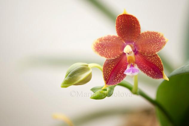 Phalaenopsis Pylo's Cornu King