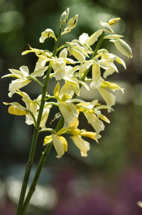 Phaius tankervillae var. alba. Nun's Orchid