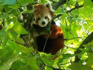De Rode Panda