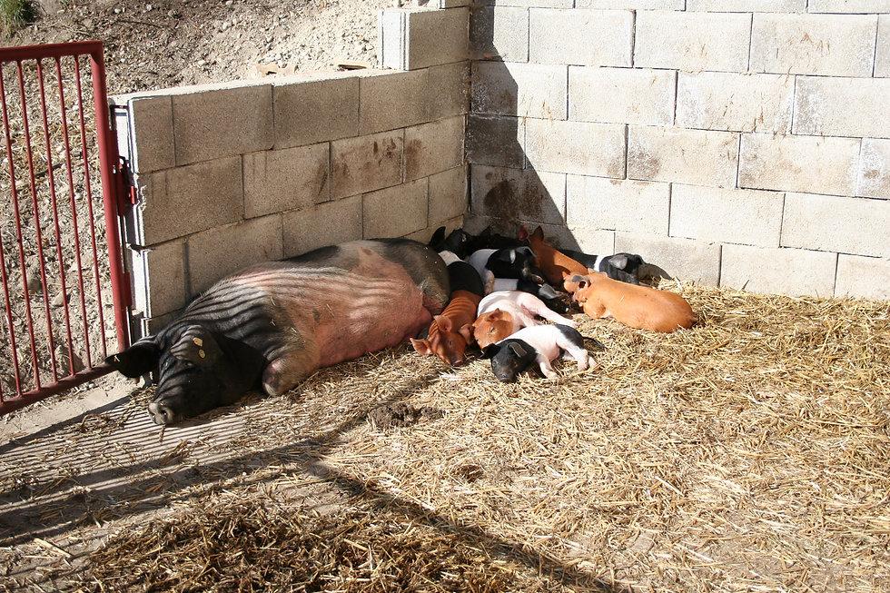 Schweine-5.jpg