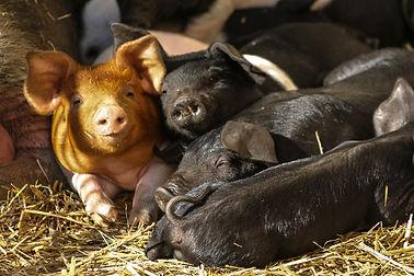 Schweine-1.jpg
