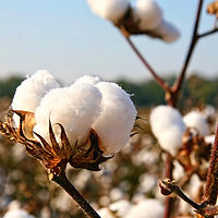 Cotton-Farm-Harvesting_edited.jpg