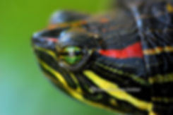 Red-eared slider: Trachemys scripta elegans.