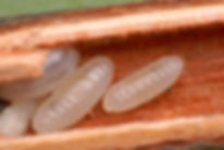 Cephalotes larvae in hollow stems.