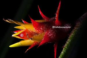 bromeliad flower cerrado savanna