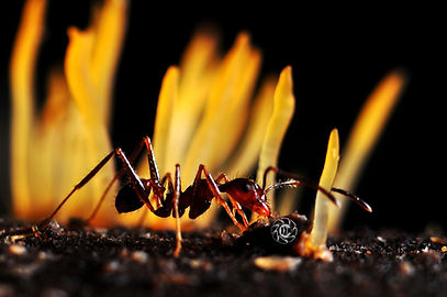 Pheidole oxyops Ant Fungae Yellow