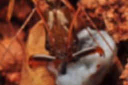 Odontomachus chelifer Siparuna