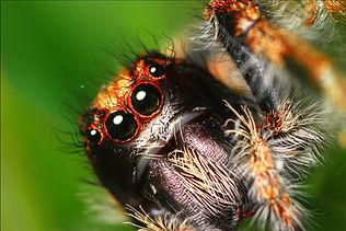 Salticid spider.