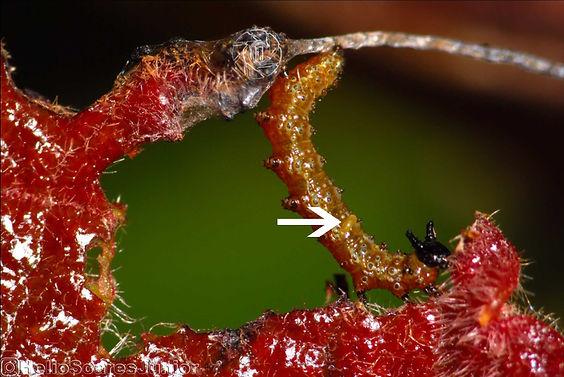 Ant-defense Eunica bechina Carayocar brasiliensis