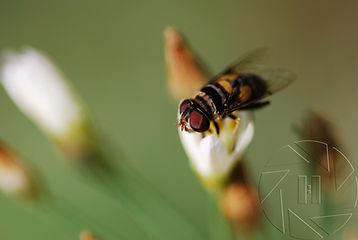 Hoverfly Papalda