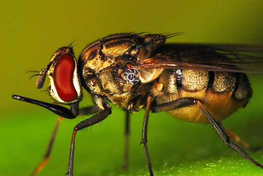 The  Stable fly:  Stomoxys calcitrans.