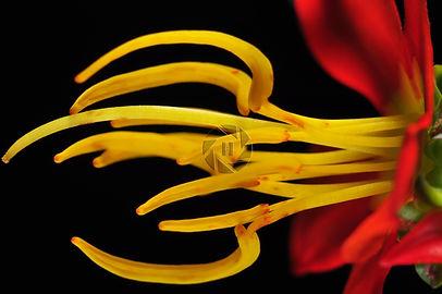 Cambessedeia hilariana Cerrado Yellow