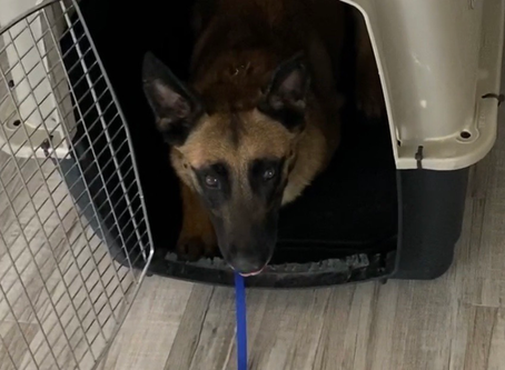 Anxious Belgian Malinois Structure Protocol