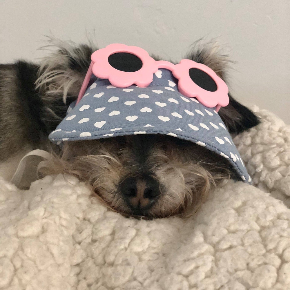 Terrier Dog Wearing Blue Visor with Pink Sunglasses