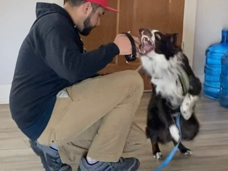 "Australian Shepherd Handling - Hank Snaps to Say ""No"""