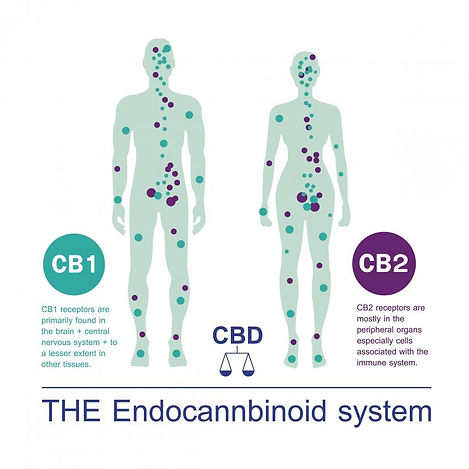 xthe-endocannabinoid-system.jpg,qitok=aB