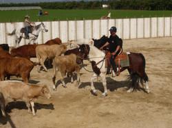 Initiation au tri de bétail