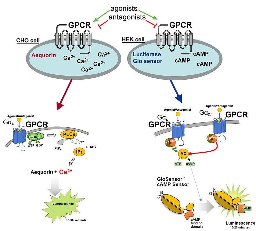 GPCRs.jpg