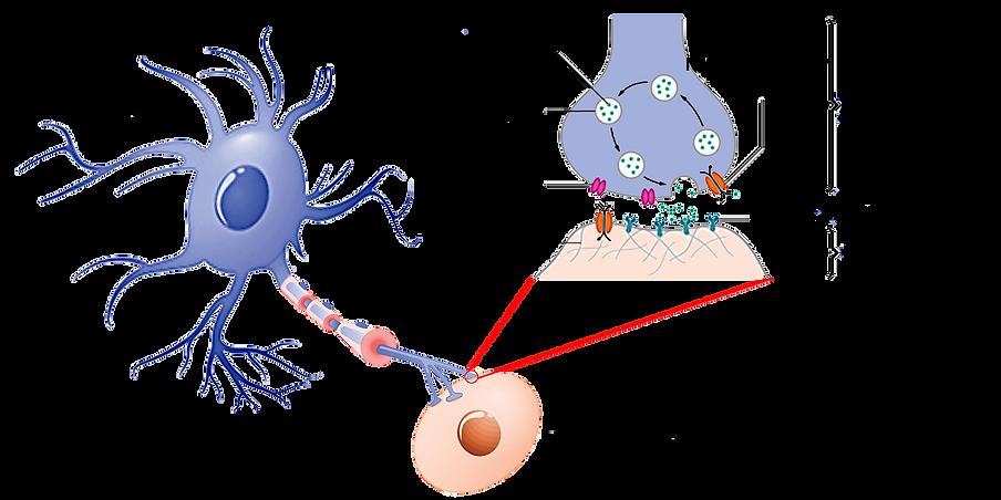 Neurotransmitter.png
