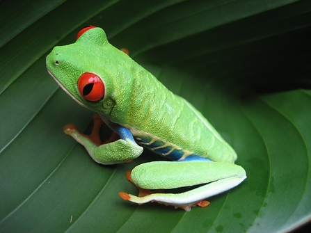 NEW! Agua Pura - Pura Vida, red eyed tree frog, costa Rica