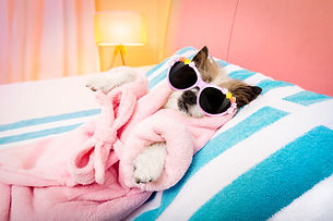 cool funny  poodle dog resting and relax