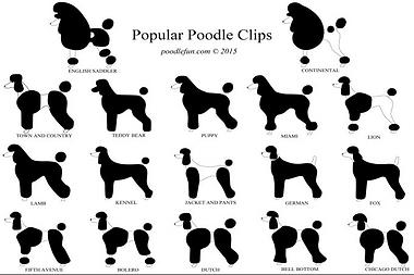 Poodle.PNG