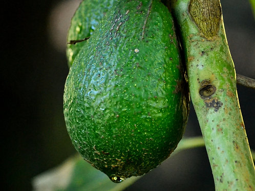 Avocados (3 x Extra Large)