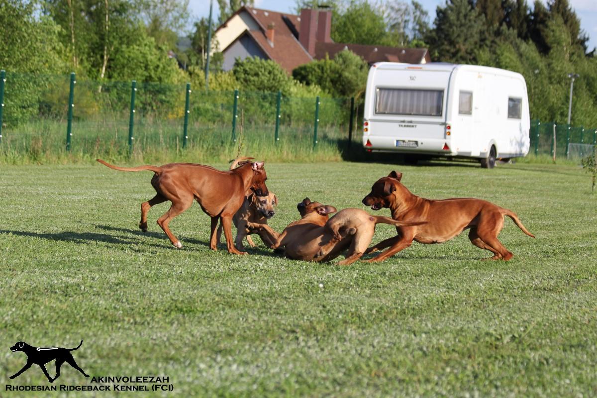 Akinvoleezah_spielende Hunde im Garten 3