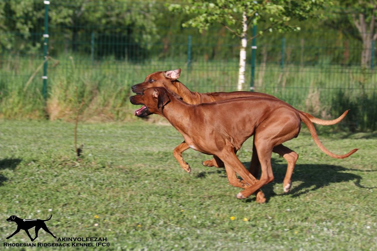 Akinvoleezah_spielende Hunde im Garten 2