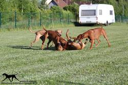 Akinvoleezah_spielende Hunde im Garten 4