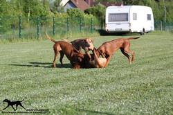 Akinvoleezah_spielende Hunde im Garten 5