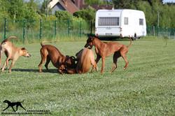 Akinvoleezah_spielende Hunde im Garten 6