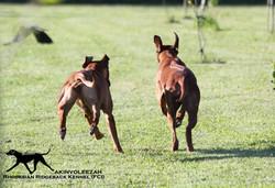 Akinvoleezah_running dogs1_09.05.2015