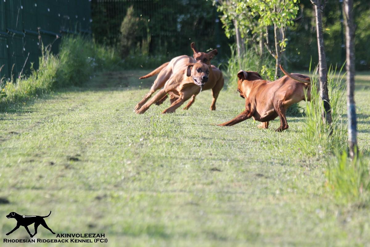 Akinvoleezah_spielende Hunde im Garten 7