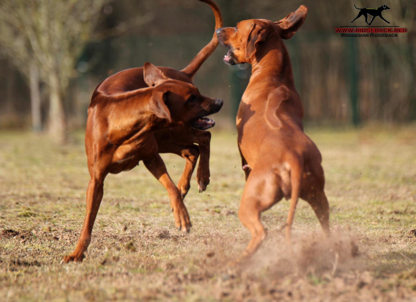 Hunde Akimo Akinvoleezah Februar 2017_6