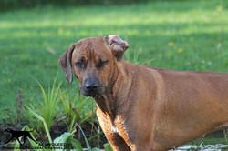 Maari - nasser Hund - akinvoleezah rhodesian ridgeback guldner sonja.jpg