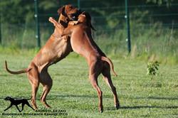 Akinvoleezah_dancing dogs1_09.05.2015