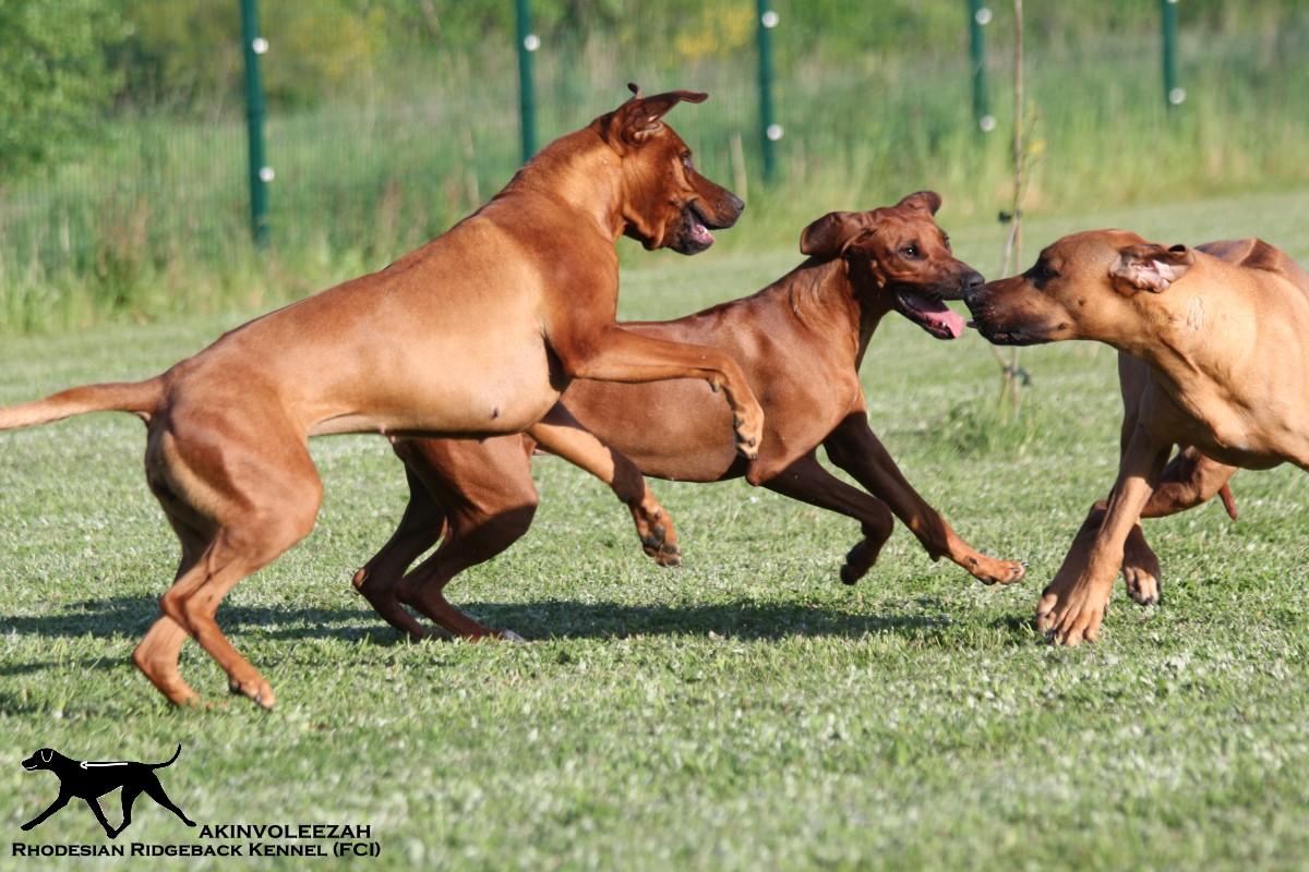 Akinvoleezah_spielende Hunde im Garten
