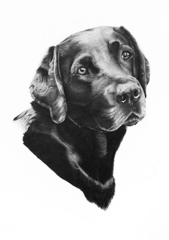 Black Labrador Commission